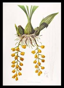 Peristeria  barkeri Guatamalan Orchid 1837