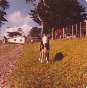 Daphne's Calf