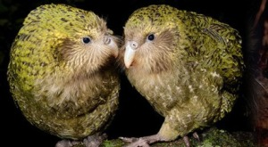 The Kākāpō, a large, flightless nocturnal bird, critically endangered, only 126 living as of March 2014