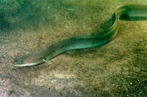 Anguilla, the eel