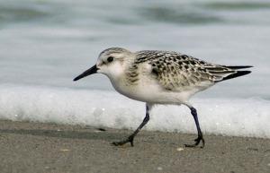 A sanderling shore bird