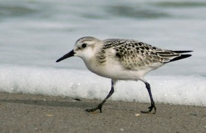 A sanderling shore bird