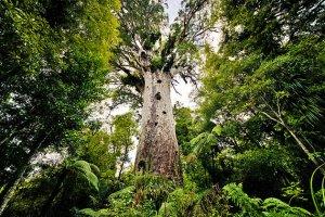 tane-mahuta-kauri-waipoua-forest NZ