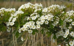Whitethorn, Faerie Tree, said to guard the entrance to the faerie realm