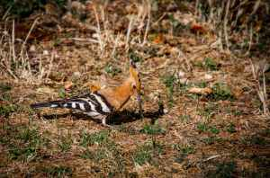 Hoopoe bird Bird Summons Leila Aboulela