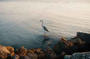 The Rain Heron Robbie Arnott Crane