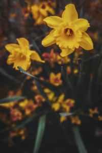 Lucy Jamaica Kincaid daffodils symbol colonialism