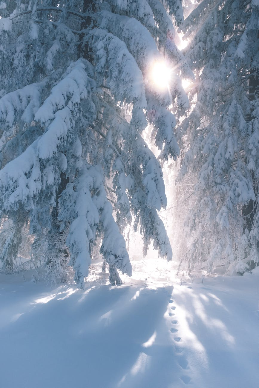 coniferous trees covered with snow in sunny winter day
